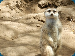 Meerkat watching - Road Trip 2012 - SAM