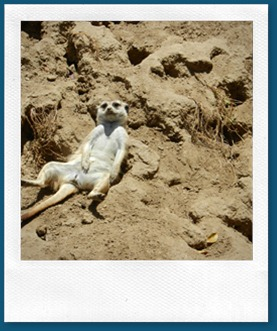 Meerkat laying- Road Trip 2012 - SAM