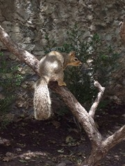 squirrel at the alamo