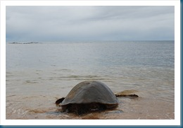 turtle going back to the water