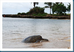 turtle heading to the beach