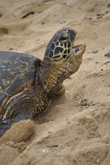 turtle talking